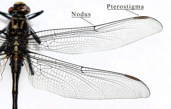 IC_Gomphidae_wing